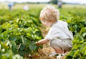 picture of strawberry blonde  - Happy little toddler boy on pick a berry farm picking strawberries in bucket - JPG