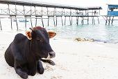 foto of sea cow  - cow in front of the sea on a beach Corsica - JPG