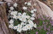 image of rare flowers  - Famous flower Edelweiss  - JPG