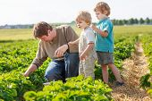pic of strawberry blonde  - father and two little sibling boys on organic strawberry farm in summer picking berries - JPG