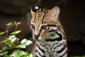 pic of ocelot  - Closeup of a male Ocelot against a blurred background - JPG