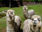 picture of alpaca  - Close up view at Huacaya alpaca at the farm  - JPG