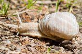 image of escargot  - Burgundy snail edible snail escargot roman snail are all common names of Helix pomatia - JPG