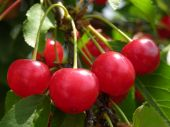 stock photo of cherry trees  - bunch of sour cherries on cherry tree branch - JPG