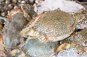 pic of blue crab  - Fresh raw flower crab or blue crab in sedfood market
