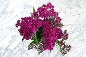 stock photo of meadowsweet  - Japanese spirea in black vase on a marble table - JPG