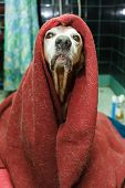 stock photo of insane  - Funny dog covered with a dirty blanket and looking very silly and proud - JPG