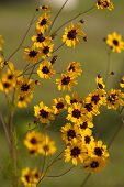 pic of wildflowers  - This is golden Alabama Coreopsis tinctoria Wildflowers. These are growing in Morgan County. These pretty daisy-like wildflowers re-seed, and come back prettier every year.