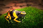 image of poison dart frogs  - yellow banded poison dart frog dendrobates leucomelas a poisonous animal from the tropical Amazon rain forest of Venezuela - JPG