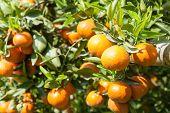 foto of tangerine-tree  - fresh orange on plant or orange tree - JPG