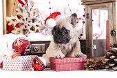 foto of puppy christmas  - puppy christmas French Bulldog - JPG