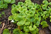 picture of viola  - Green bright leaves of Viola decorative on ground - JPG