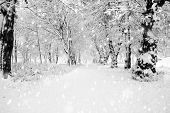 stock photo of mood  - Panorama of winter forest with trees covered snow - JPG