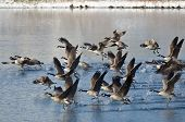 stock photo of snow goose  - Canada Geese Taking to Flight from a Winter Lake - JPG