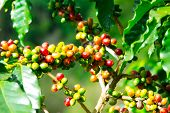picture of coffee crop  - Coffee tree with ripe berries on farm - JPG