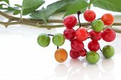 picture of belladonna  - Deadly nightshade berries over white background - JPG
