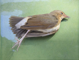 image of avian flu  - died bird on green for use for nature diaster and Avian influenzaH5N1 - JPG