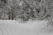 picture of snow forest  - The road goes under tree in the form of curved arch.Road covered with snow. 