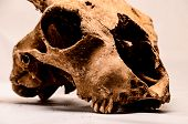 image of goat horns  - Dry Goat Skull with Big Horns on White Background - JPG