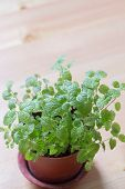 picture of peppermint  - mint peppermint flowerpot on wooden background with copy space - JPG