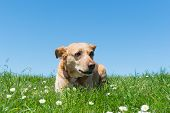 image of cross-breeding  - Brown cross breed dog laying in grass - JPG