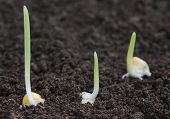 pic of germination  - Close up of Corn germination on fertile soil - JPG
