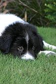 picture of newfoundland puppy  - george - JPG