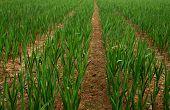 foto of gladiolus  - Close up of Row of plants in Gladiolus field  - JPG