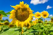 foto of heliotrope  - Big yellow sunflower with a feasting bee - JPG