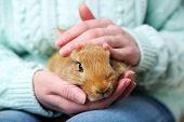 image of dwarf rabbit  - Woman holding little cute rabbit - JPG
