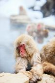 picture of macaque  - Snow Monkeys Japanese Macaques bathe in onsen hot springs at Nagano - JPG