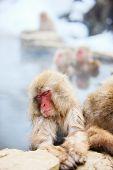 image of macaque  - Snow Monkeys Japanese Macaques bathe in onsen hot springs at Nagano - JPG