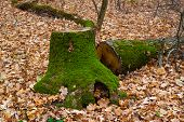 stock photo of fallen  - Stump covered with green moss on a background autumn fallen leaves in the forest - JPG