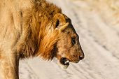 picture of battle  - Male lion lost a battle with rival - JPG