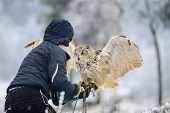 Постер, плакат: Falconer Wit Landing Eurasian Eagle Owl To Her Hand With Gauntlet