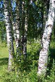image of birchwood  - Beautiful summer landscape with a big birchwood - JPG