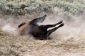 stock photo of wallow  - Large bull bison enjoying a wallow in the dust in Yellowstone National Park - JPG