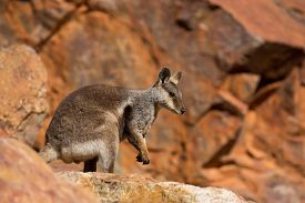 pic of wallabies  - A rare sighting of a rock wallaby amongst rocks in a cliff face at Ormiston Gorge in Northern Territory - JPG