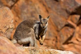 foto of wallabies  - A rare sighting of a rock wallaby amongst rocks in a cliff face at Ormiston Gorge in Northern Territory - JPG