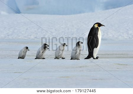 Emperor Penguins with