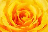 stock photo of yellow rose  - Closeup of a beautiful yellow rose petals horizontal landscape orientation - JPG