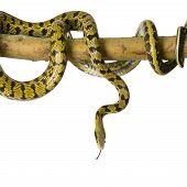 Постер, плакат: Крыса змеи