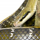 foto of snakehead  - Rat snake in front of a white background - JPG