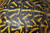 picture of turtle shell  - Close up photo of the shell on a box turtle - JPG
