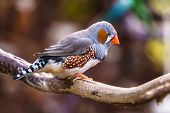 Zebra Finch Exotic Birds And Animals In Wildlife In Natural Setting. poster