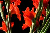 stock photo of gladiola  - Some pretty red gladiolas over a black background - JPG