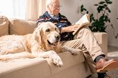 Portrait Of Adorable Golden Retriever Dog Sitting On Couch With Senior Man In Sunlit Living Room, Co poster