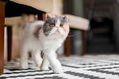 White, Grey And Ginger Persian Cat Walking Over A Rug Looking At The Camera. A Persian Cat With Vivi poster