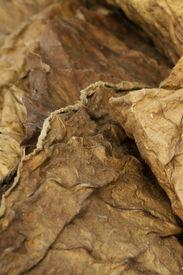 picture of tobaco leaf  - Dried tobacco leaves fine details closeup studio shot - JPG