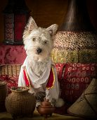 stock photo of aladdin  - A dog dressed as middle eastern legend Aladdin - JPG